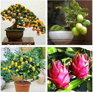 Bonsai Tree Mix - Kumquat, Lemon, Guava, orange - Fresh Seeds