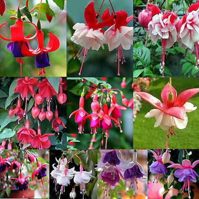 mixed color Fuchsia flower Seeds