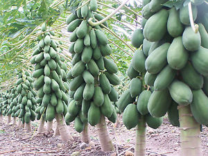 PAPAYA SEEDS - Dwarf Variety Huge Production Hybrid Seeds
