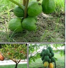 Dwarf Fruit Seeds Combo Pack Dwarf Guava,Pomegranate,Papaya Seeds