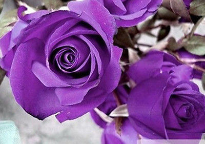 Purple Rare Rose Beautiful Flower Seed